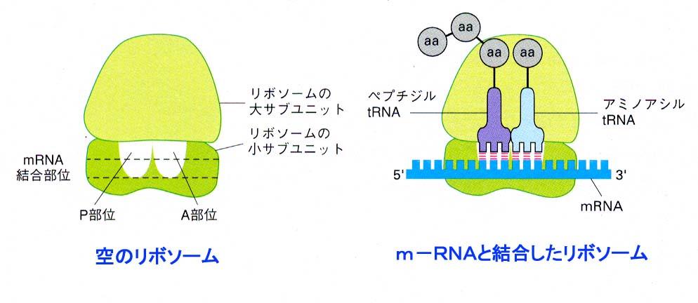 http://y-arisa.sakura.ne.jp/link/yamadaka/animal-cell/gene/rRNA.JPG