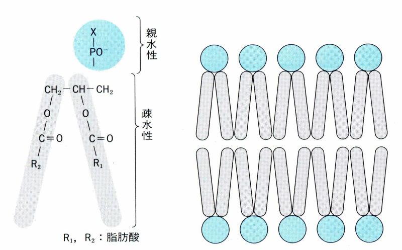細 胞 膜