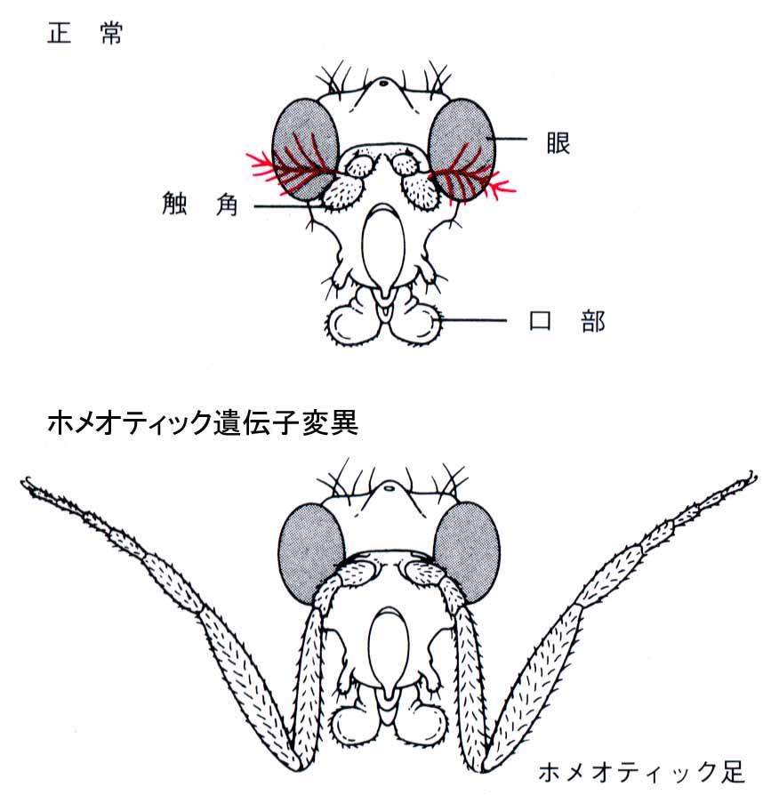 ティック 遺伝子 ホメオ